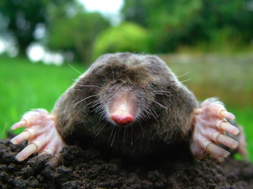 An photo of a mole by Michael David Hill.