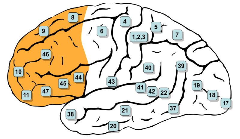 The brain, with prefrontal cortex highlighted.